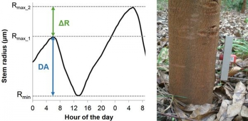 The pulse of the tree is under genetic control: eucalyptus as a case study