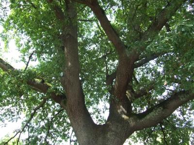 Chêne pédonculé remarquable
