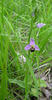 Ophrys abeille 2