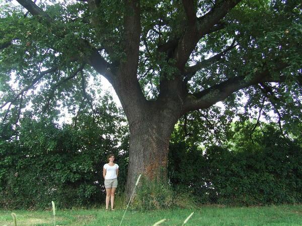 chêne pédonculé (2)