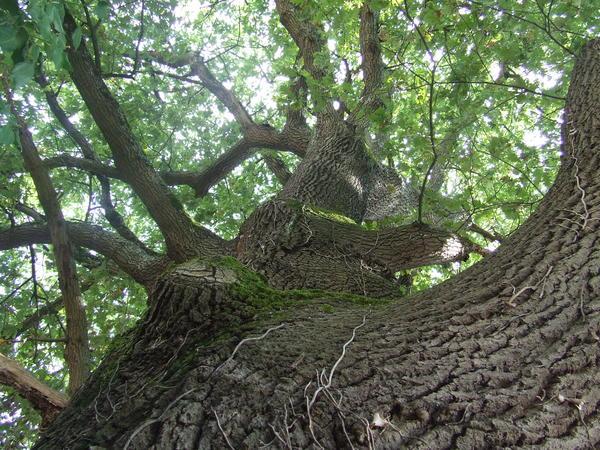 chêne pédonculé (3)