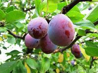 prune d'agen