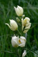 Céphalanthère (Cephalanthera damasonium).