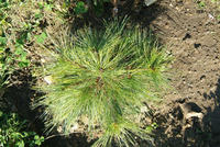 Pinetum collection 5