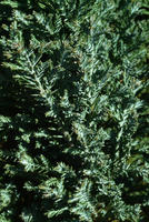 Pinetum collection 8