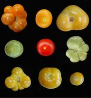 photo tomate PG