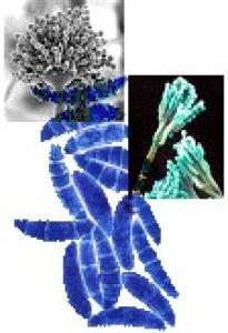 toxinogenic Fusarium collection