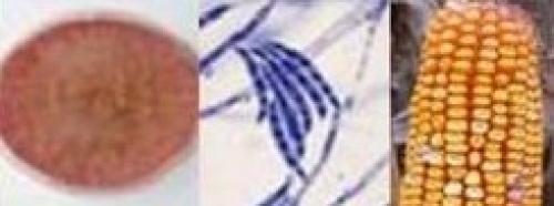Mycotoxins in grains