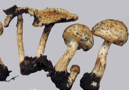 Agaricus luteofibrillosus