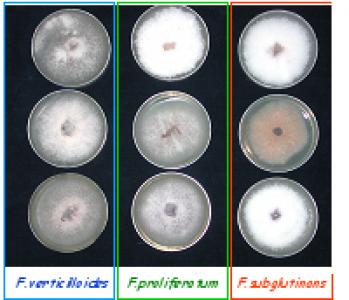 Three Fusarium species