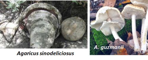 Agaricus sinodeliciosus & A. guzmanii