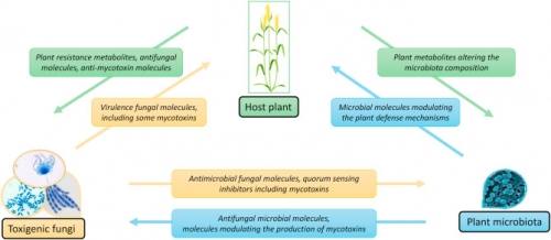 tripartite interactions: host plant - toxigenic fungus – microbiota
