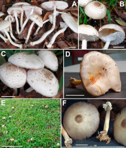 Thongklang et al, Mycoscience