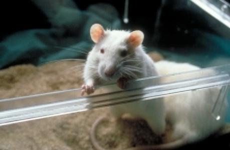 Un régime riche en graisse modifie le système de récompense chez l'animal