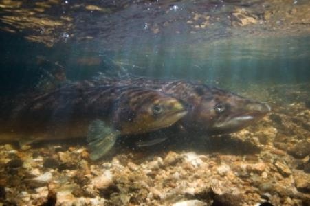 Quel avenir pour le saumon atlantique face au changement climatique ?