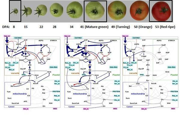 Cartes de flux métaboliques à 3 stades de développement du fruit de la tomate.