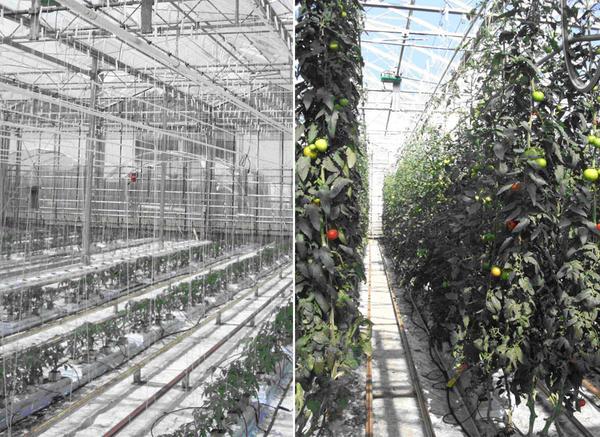 Expérience de paramétrage du modèle intégratif du fruit de tomate réalisée en conditions de production (Invenio, Sainte Livrade)