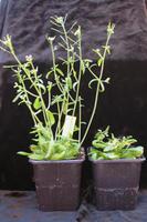 Symptômes causés par le virus de la Sharka chez Arabidopsis thaliana. La plante de gauche est saine