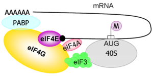 Schematic representation of the involvement of cellular factors in the translation initiation process