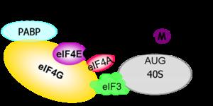 Représentation schématique de l'implication des différents facteurs cellulaires dans le processus d'initiation de la traduction