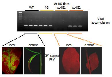 eIF(iso)4G1 mais pas eIF4G ou eIF(iso)4G2 est nécessaire au succès de l'infection par le virus de la Sharka chez Arabidopsis thaliana