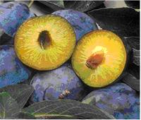 Fruit de la variété de prune transgénique Honeysweet résistante à la Sharka