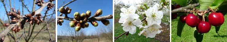 Phénologie du cerisier