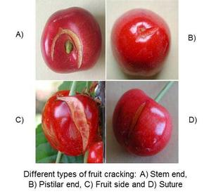 Fruit cracking