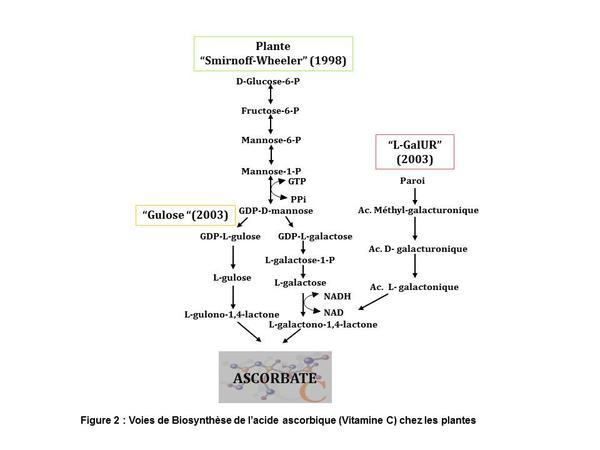 Voies de biosynthèse de l'acide ascorbique (vitamine C) chez les plantes
