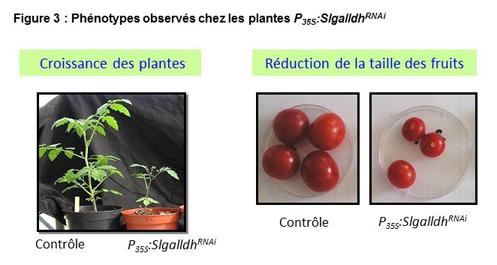 Phénotypes observés chez les plantes P35S:SlgalldhRNAi