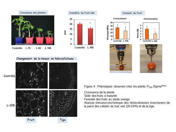 Phénotypes observés chez les plantes P35S:SlgmeRNAi