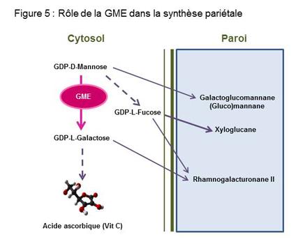 Rôle de la GME dans la synthèse pariétale