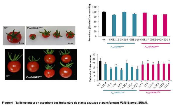 Taille et teneur en ascorbate des fruits mûrs de plante sauvage et transformant P35S :Slgme1/2RNAi