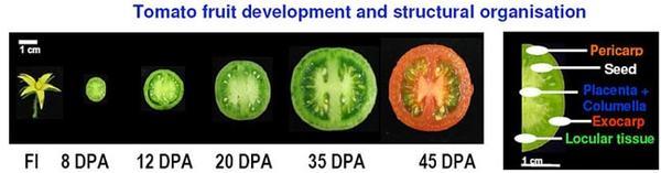 Développement du fruit de tomate