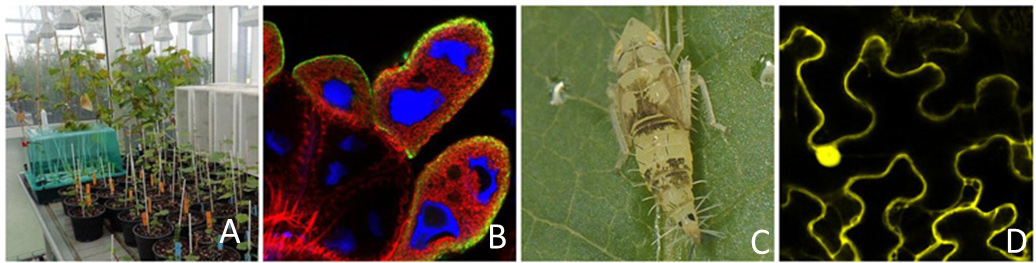 Interactions between FD phytoplasma and its hosts plants and insects