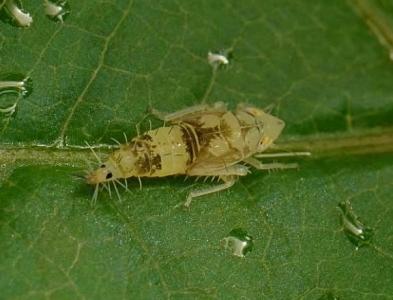 Article paru en juin 2016 dans Phytopathogenic Mollicutes