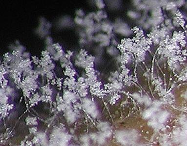 Espèces cryptiques de mildiou