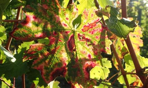 Impact de l'esca sur les feuilles de vigne