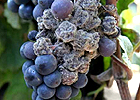 these-botrytis