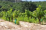 vigne-adventices