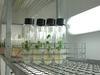 Expérimentation sur plants in vitro