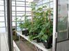 Expérimentation in planta sous serre