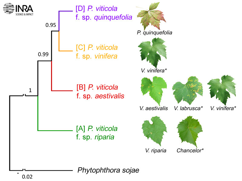 L'analyse phylogénétique des populations américaines de Plasmopara viticola révèle l'existence de quatre espèces cryptiques de mildiou de la vigne spécialisées sur les Vitis sauvages et cultivés. Rouxel et al. 2013, New Phytologist, 197 (1), 251-263