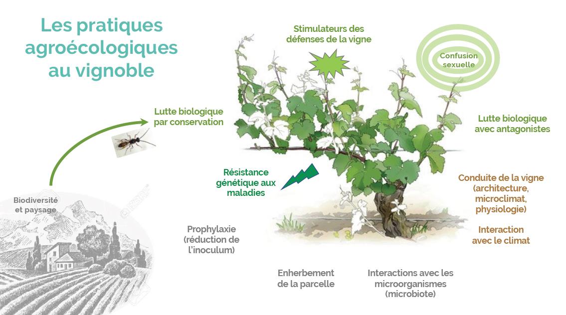 agroecologie-vignoble