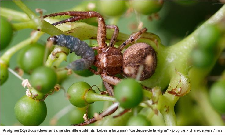 araignee-lobesia