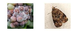 eudemis-botrytis