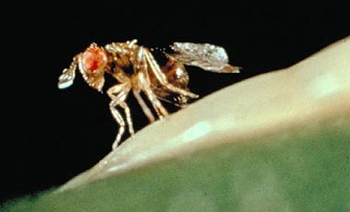 Article à paraitre dans Entomologia Generalis