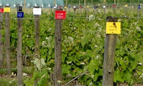 Vignoble et variétés résistantes